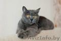 Бархат - британский кот в дар, Объявление #1625337