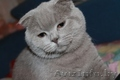 Питомник шотландских кошек.