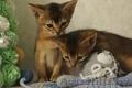 Резервирование абиссинских котят с докуменами.