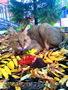 азиатские леопардовые кошки(алк) и камышовые коты