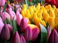 Оптовая реализация тюльпанов