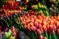 Тюльпаны к 8 Марта оптом принимаем заказы.