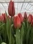 Живые цветы недорого оптом к Женскому празднику